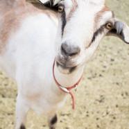 Maynord's Goat